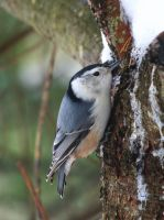 White-brested Nuthatch by tidesend