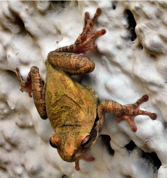 Frog ~ Uxmal in the Yucatan by richardcgreen