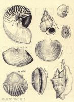 Sketches - Shells by Jackie-M-Illustrator