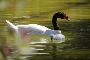 Goose and Gosling by amm081
