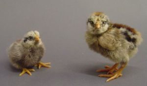 Fluffy chick stock 3 by InKi-Stock