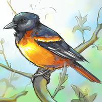 Baltimore Oriole Bird Sketch by charfade