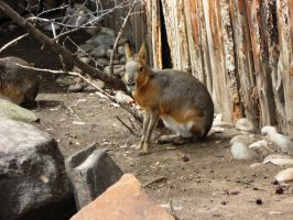 Cavy 1 -- Aug 2009 by pricecw-stock