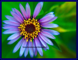 Siberian Aster by ObliviousMind