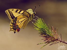 Yellow Swallowtail Butterfly by suphafly