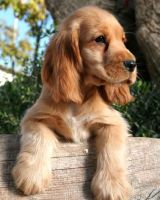 Cocker Spaniel 08 by leugim77