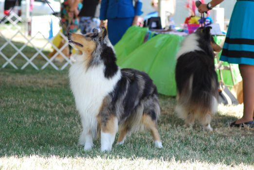 Rough Collie 4 by xxtgxxstock