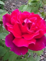 Rose 1 by Impsgramma