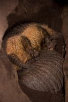 Sleepy armadillo's by Bloodstained-Snow