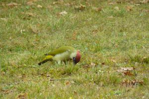 Green woodpecker  Pic Vert by gwenoder
