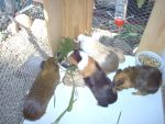 Guinea Pigs by rebelwolfchris