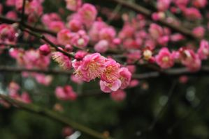 red plum blossom in late winter by lavocano