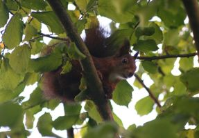 Squirrel in the tree by Tewerin