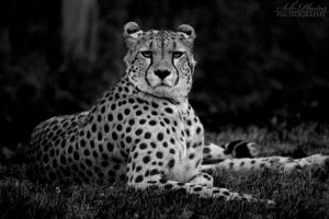 International Cheetah Day 2013 by Seb-Photos