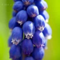 Grape Hyacinth by jdrainville