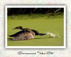 Cormorant Take Off by Merlinstouch