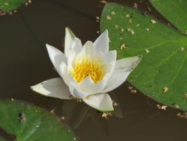 Water lily 4 by Temansha