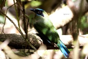 Blue-crowned Motmot young by Peregrijn
