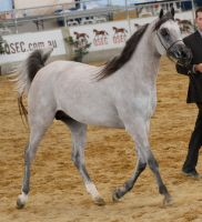 Grey arabian stock 2 by xxMysteryStockxx