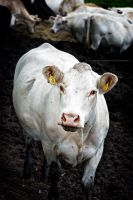 White Cow by BAproductions
