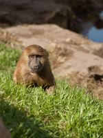 Guinea Baboon 00 - Sep 13 by mszafran