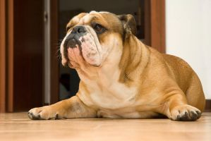 bulldog attila by vinopillo