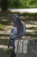 pigeon by lSiaNl