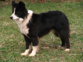 Border Collie 24 .:Stock:. by WesternStock