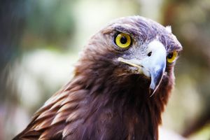Golden eagle, front by deliquescing