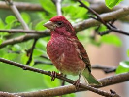 Male purple finch by Nipntuck3