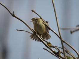Sedge Warbler by HammerPhotography