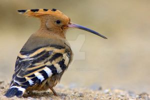 Hoopoe by naturelens