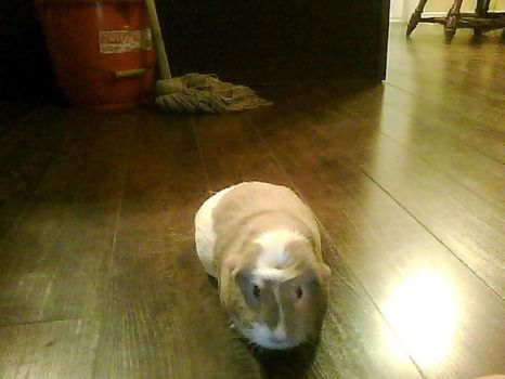 My Guinea Pig by RoxyFoxT
