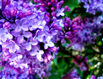 Lilacs by XxFreakOfNaturexX