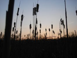 Cat Tails by yorksensation