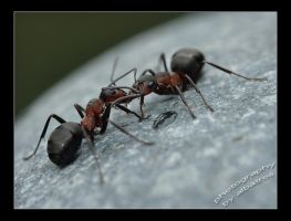 Ants fight by albatros1