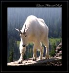 Rocky Mountain Goat High by MuseSusan