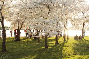 Cherry Blossoms 2012  -3- by Mechanical-Koi