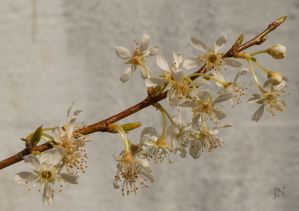 Peach Plum II by JoannaMoory