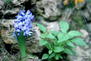 Hyacinth by aquanis-photos