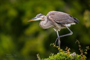 .:Great Blue Heron:. by RHCheng
