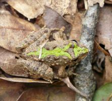 Southern Cricket Frog by duggiehoo