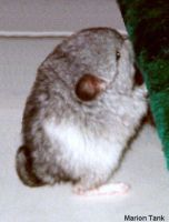 Baby Chinchilla 's frist Step by Villa-Chinchilla