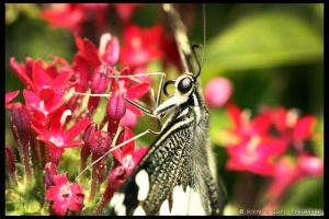 Citrus Swallowtail Butterfly 4 by Vamppy