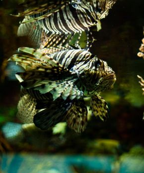 LionFish by Xerophaze