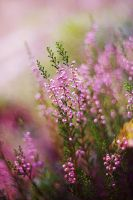 Heather Dreams by Justine1985
