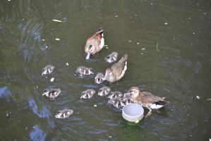 Zoo Halle - Entenfamilie by Kysan