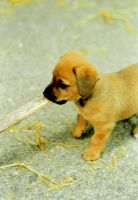 Little Dog by IpomeaTricolor