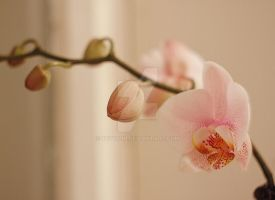 orchid3 by Teyvilin