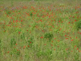 Field of poppies stock by Sassy-Stock